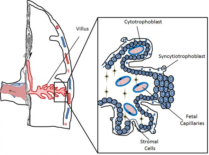 Figure 1. Schematic representation of part of the human placenta and magnification of a placental villus depicting its cellular organization.