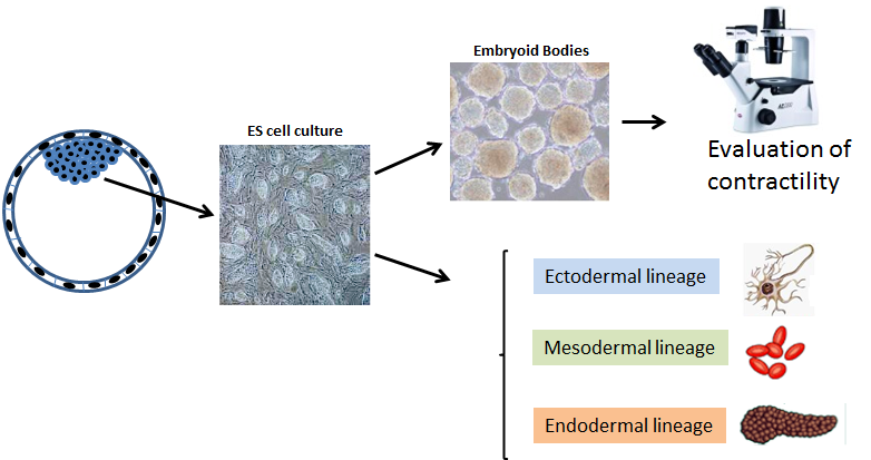 Figure 1. Graphical representation of the potential use of mES. Embryonic stem cells can be differentiated in vitro to give embryoid bodies in which the development of contracting cardiomyocyte-cells can be microscopically monitored. Under  specific culture conditions the differentiation of several cell lineages can be obtained.